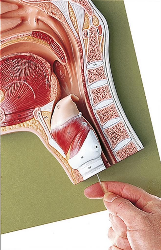 Medianschnitt der Nasen-, Mund- und Rachenhöhle | www.der-hedinger.de