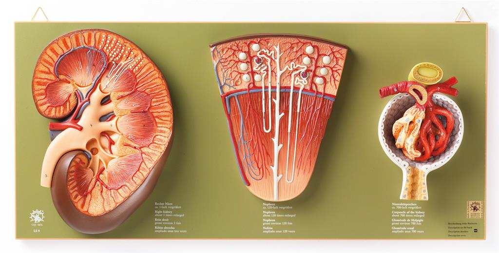 Niere Nephron Und Nierenkrper Der Hedinger